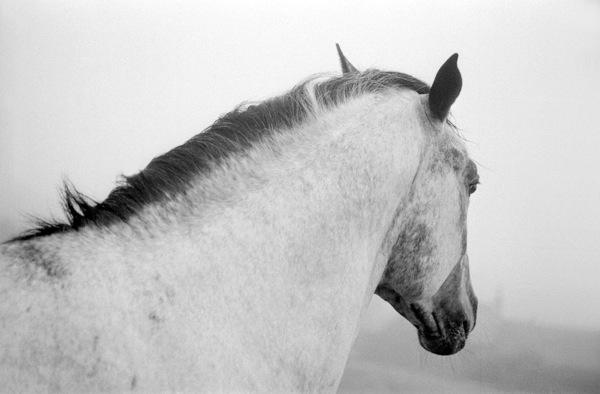 Stallion, Scotland, 1993.jpg