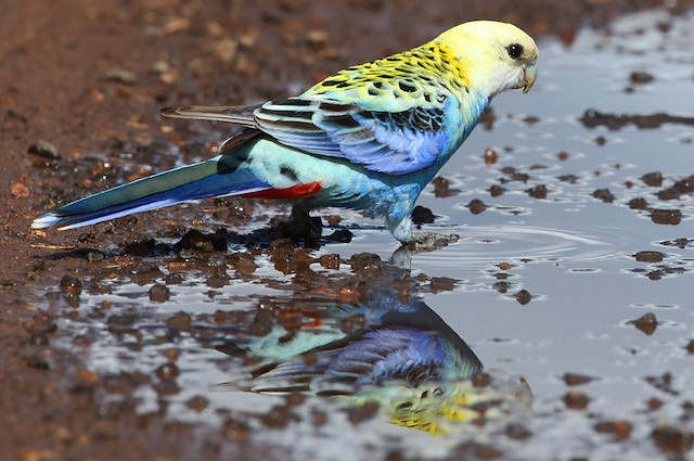 pale-headed-rosella-2