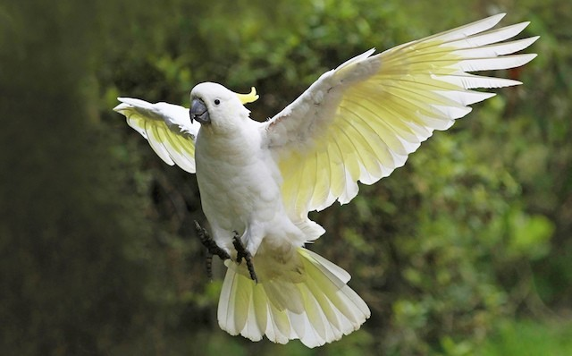 sulphur-crested-cockatoo-2
