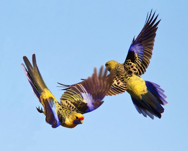 yellow-rosella-2